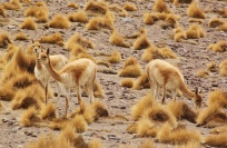 Camouflaged Vicuñas