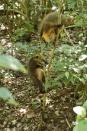 Coati Playtime